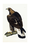 A Young Golden Eagle  1841
