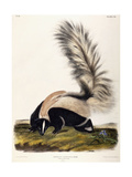 Large Tailed Skunk  1846