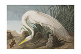 Illustration from 'Birds of America'  1827-38