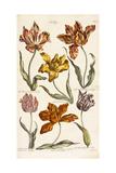 Tulips  1842