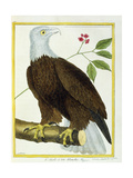 White-Headed Eagle  C1770-1786