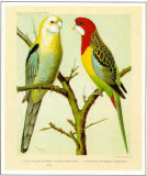 Pale-Headed and Rose-Hill Parrots