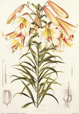Lilium Centrifolium