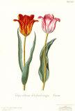Tulipa Cultivar
