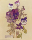Wild Pansy