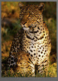 Leopard with Infant at Masai-Mara  Kenya