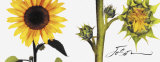 Helianthus