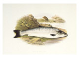 Grilse or Young Salmon