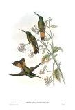 Helianthea Dichroura  Hummingbirds