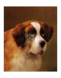Head of a St Bernard