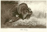 Wild Turkey