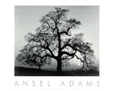 Oak Tree, Sunset City, California Reproduction d'art par Ansel Adams