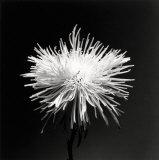 Flower Series XI