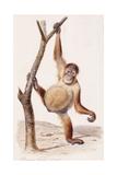 Orangutan  1836