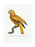 Yellow and Red Parrot  C1801-05