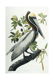 Brown Pelican  1835