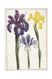Irises  18th Century