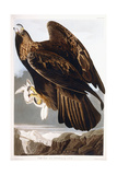 Golden Eagle  1833