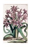 Lillio-Narcissus   1697-1701