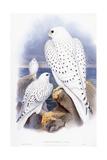 Falco Candicans