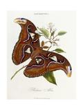 Lepidoptera: Phaloena Atlas  1798-1799