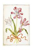 Tulips  18th Century