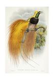 Paradisea Augustae Victoriae  1891-1898