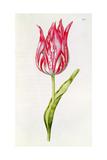 Tulip  from 'La Guirlande De Julie'  C1642