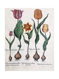 Types of Tulips  1613