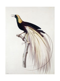 Greater Bird of Paradise  Male