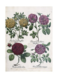 Four Types of Roses  1613