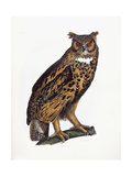 Great Eared Owl  1841