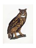Great Eared Owl  1841