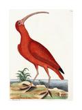 Curlew  Numenius  1771