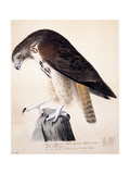 American Buzzard or White Breasted Hawk