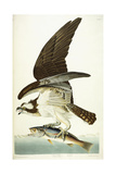 Fish Hawk  1830