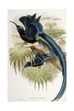 Great Sicklebilled Bird of Paradise