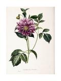 Dahlia Rosea  1715