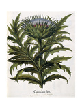 Cinera Cum Flore  1613