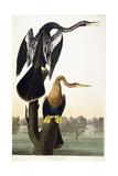 Black-Bellied Darter  1836