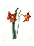 Amaryllis  C1790