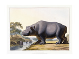 The Hippopotamus  1804