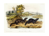Mountain Brook Mink  C1849-1854