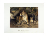 The African Lioness  C1880-1883