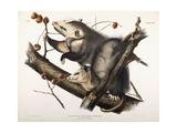 Virginian Opossum  1845