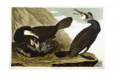 Common Cormorant  1835