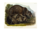 Male Grizzly Bear  1848