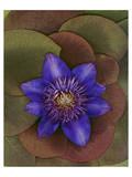 Flower Garden blue Clematis