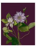 Garden  Clematis purple mauve Flowers