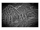 Giraffes B+W